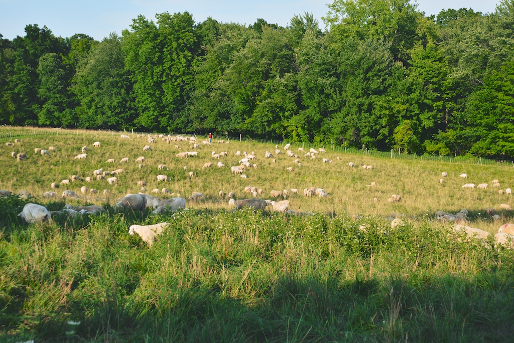 sheep in the pasture at Kinderhook Farm