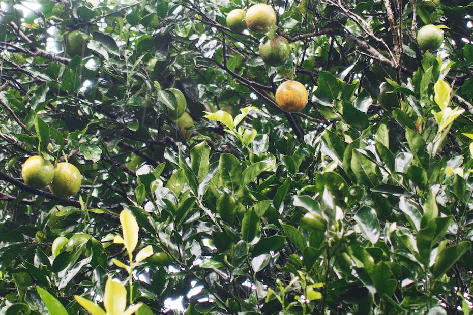 Panamanian lemons
