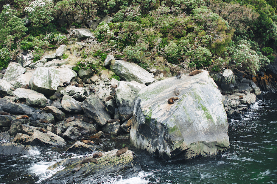seals, Milford Sound