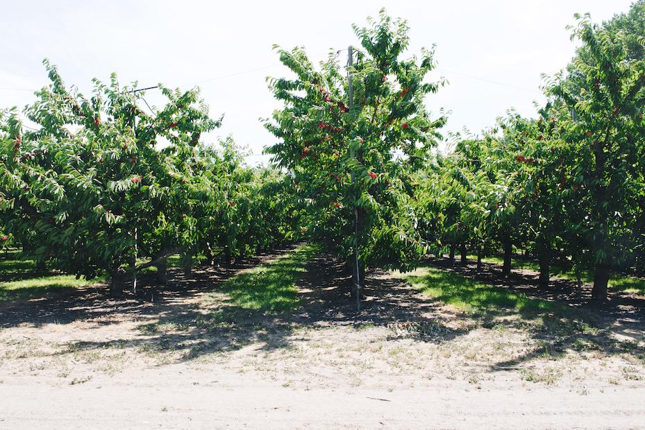 cherry season near Queenstown