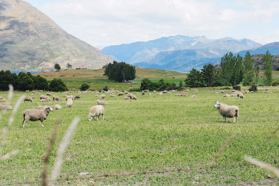 sheep near Queenstown